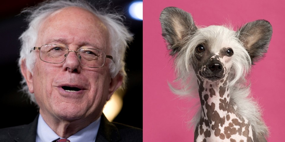 Bernie Sanders dog look alike