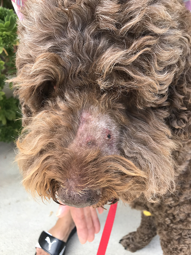 Max Fox, suffered a snake bite injury while at the dog park