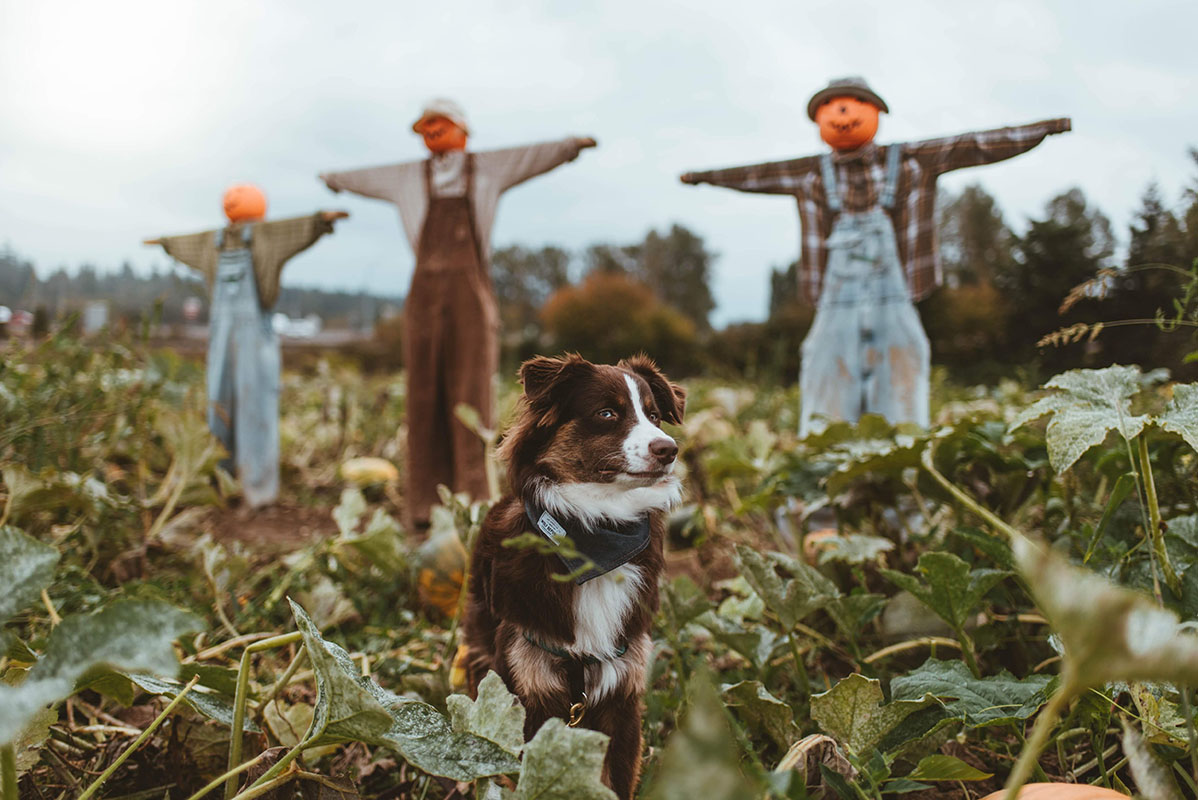 Kiba isn't so sure about these pumpkin patch scarecrows.