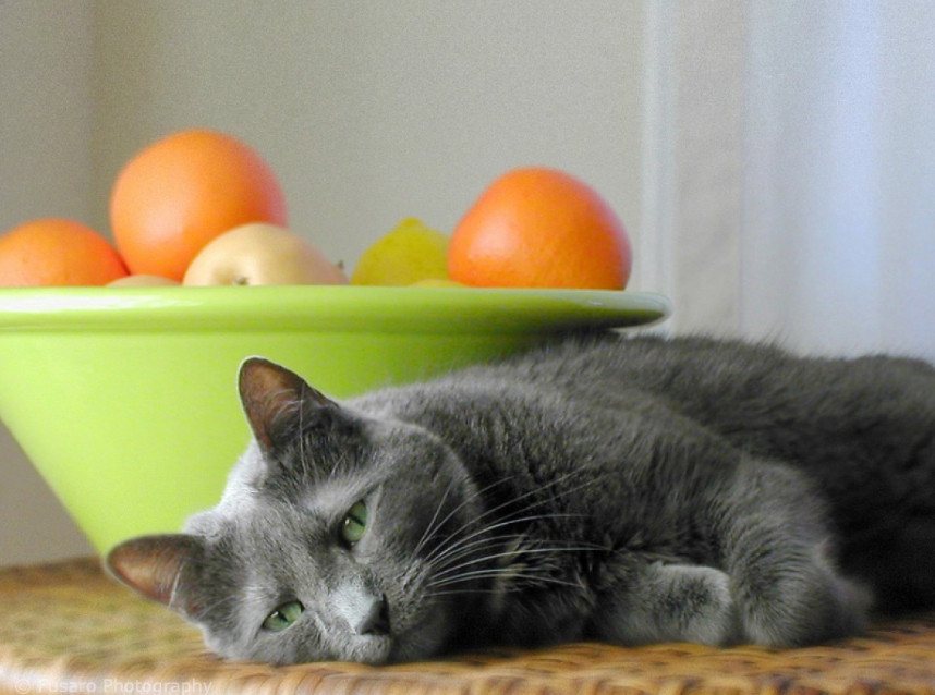 Senior gray cat by a bowl of oranges photographed by Lori Fusaro, Best Friends Animal Society