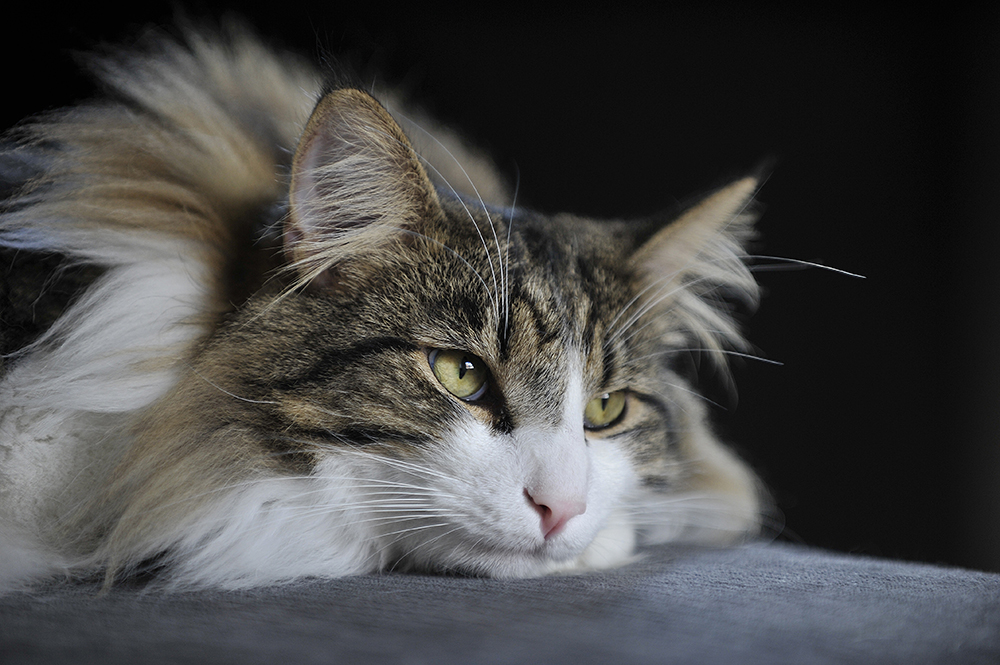 Getting To Know The Norwegian Forest Cat   Figo Pet Insurance