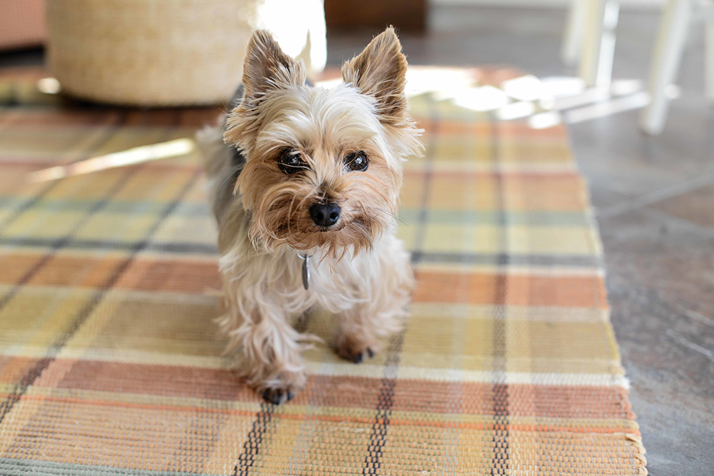 The Yorkshire Terrier (Yorkie) dog breed