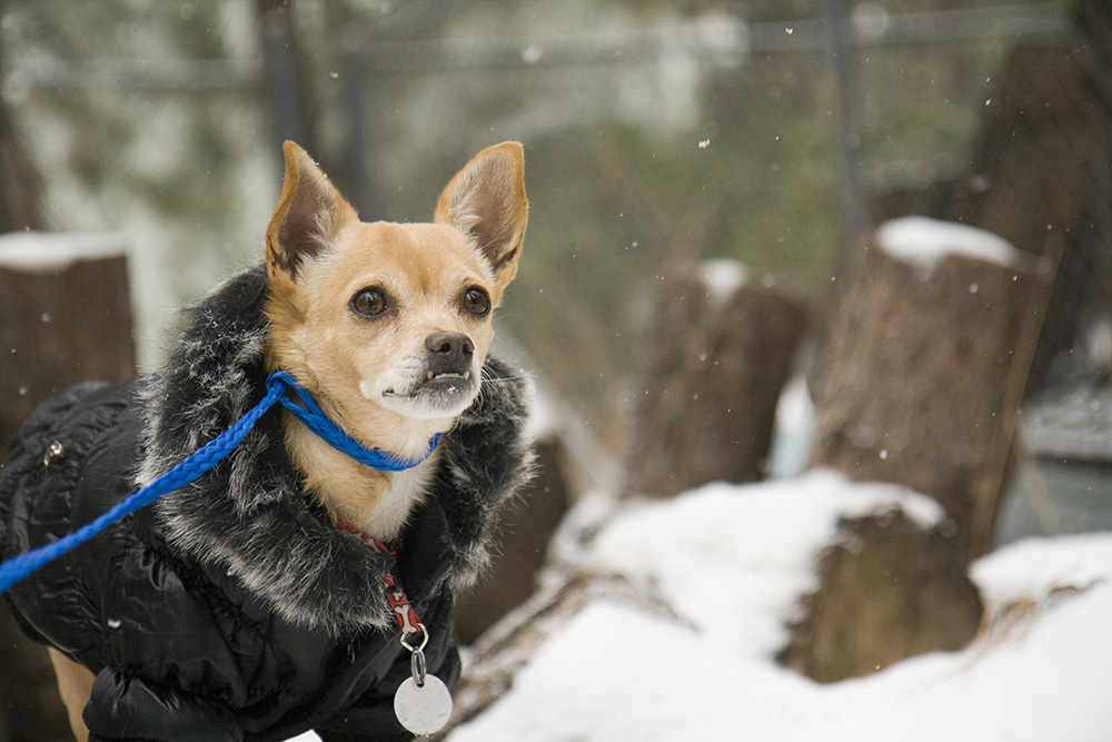 Dog Breed Profiles: Getting To Know The Chihuahua