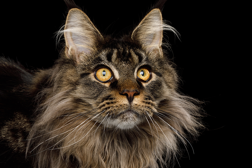 Cat Breed Profile: Facts About The Maine Coon Cat | Figo ...