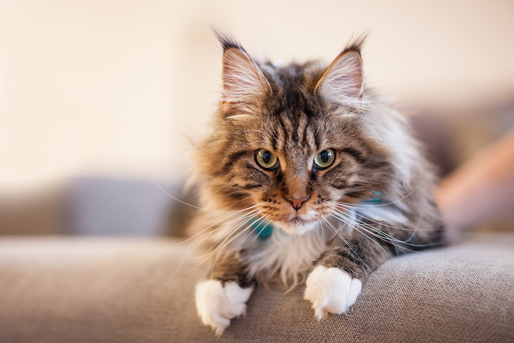 Pure Breed Maine Coon Cat Should Be Tested For Inherited ...