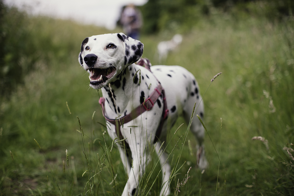 Tips For Communicating With A Deaf Dog Figo Pet Insurance