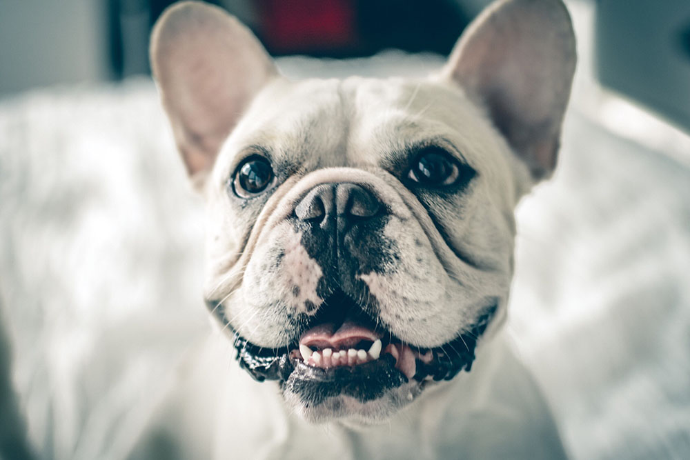 Common Health Issues In French Bulldogs Figo Pet Insurance