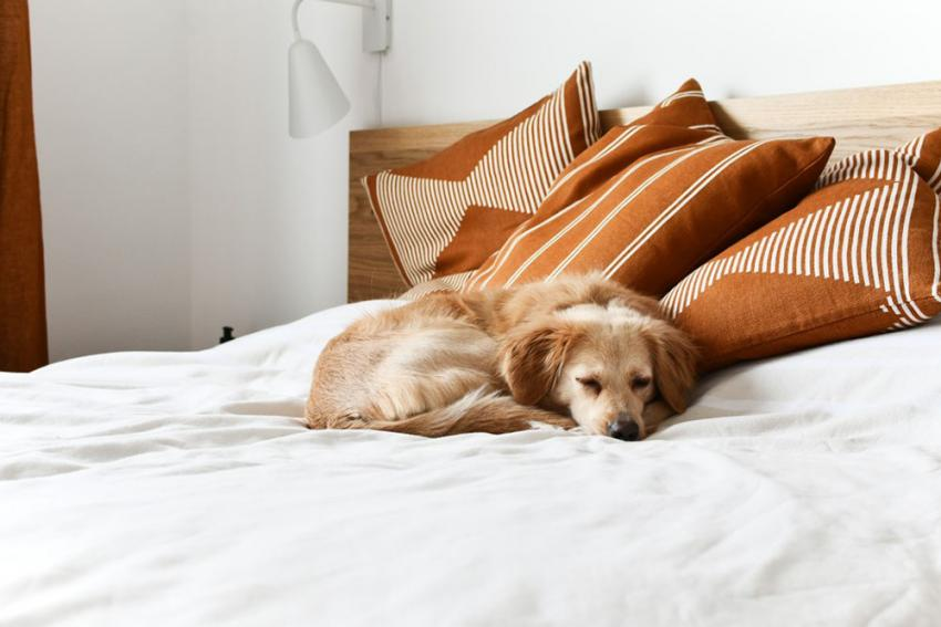 Dog sleeping on hotel bed with pillows
