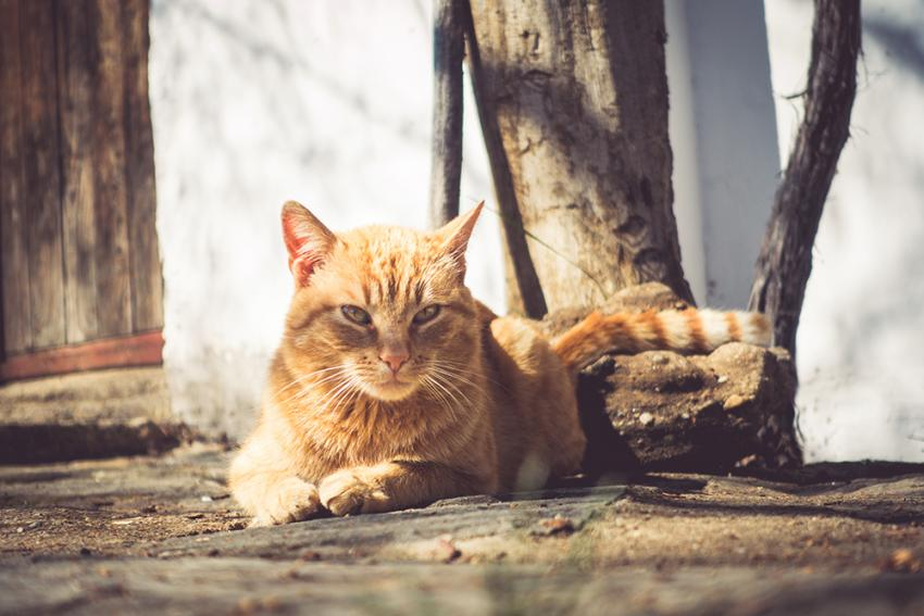 Orange tabby sitting outside in the sun