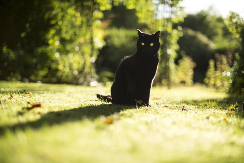 Black cat in a grassy field
