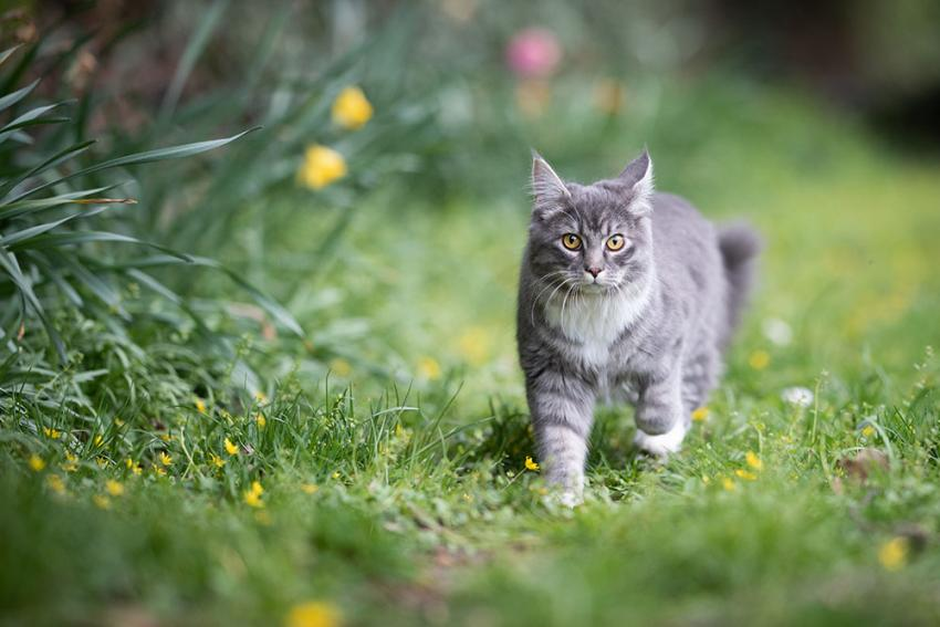 Grey cat walking outside in the tall grass