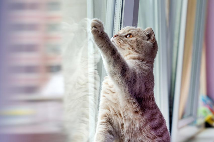 Indoor cat pawing at window