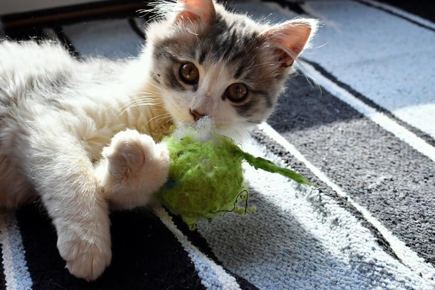 Feline Immunizations: Indoor Cats And Vaccines | Figo Pet Insurance