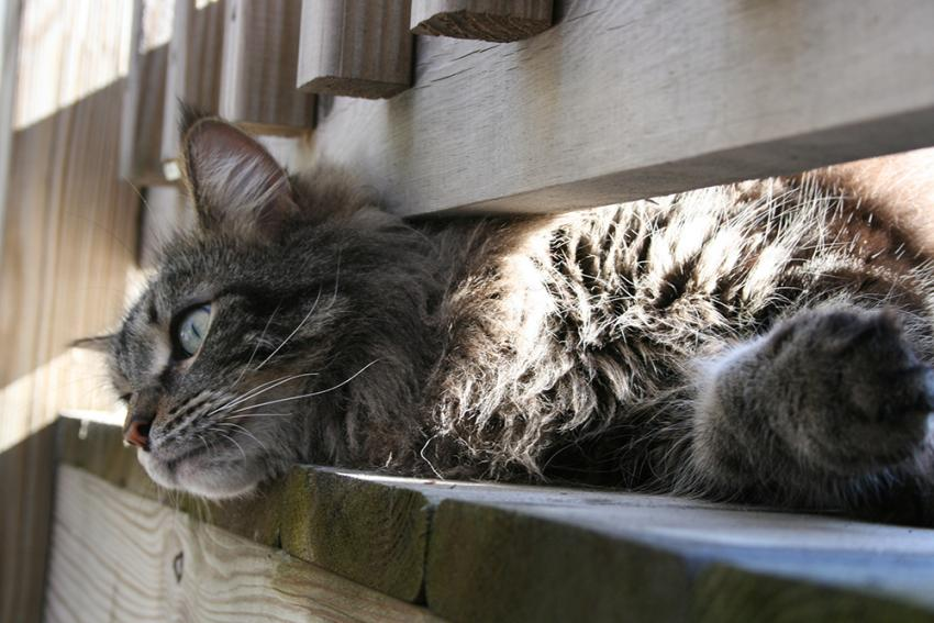 Long-haired cat hanging outside on deck