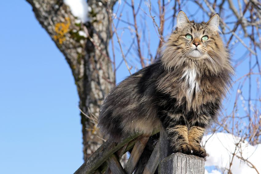 Getting To Know The Norwegian Forest Cat | perched in a snowy tree