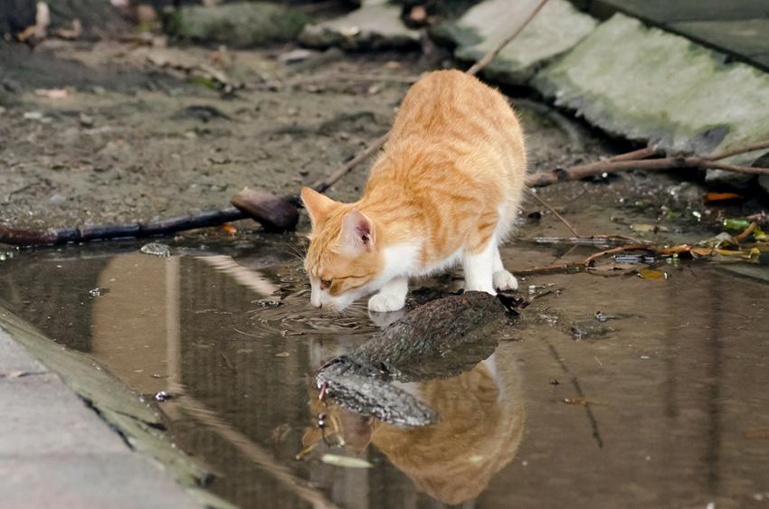 Pet disaster relief: Orange tabby cat left behind during storm drinking from puddle