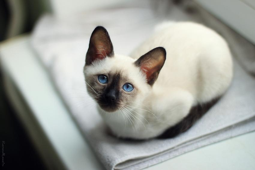 Siamese cat laying on blanket in vet office