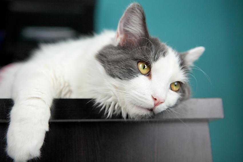 Anemia In Cats Has Many Causes | Figo Pet Insurance