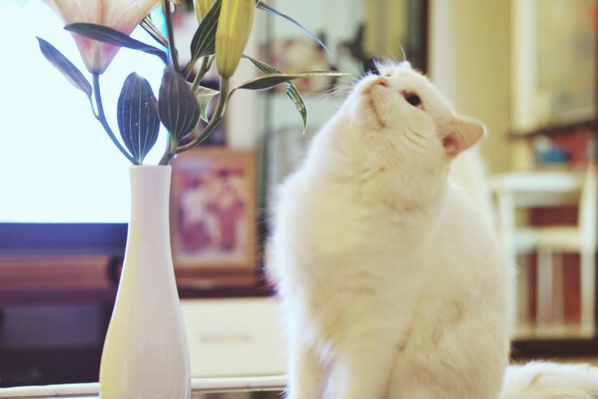 White cat eyeing lily in a vase