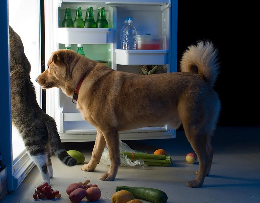 Dog and cat helping themselves to food in the refrigerator