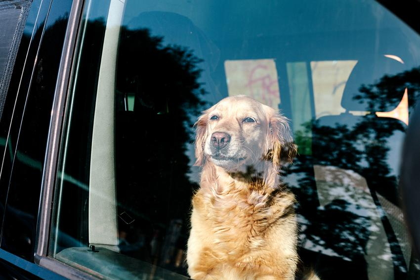dog left in hot car and dangers of heatstroke