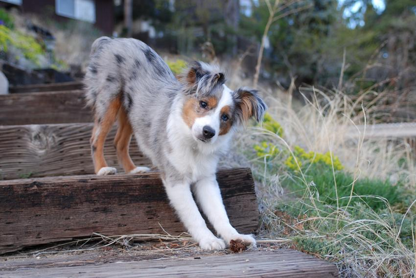 Australian Shepherd puppy stretching on outside steps