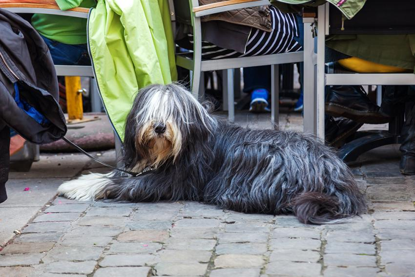Bearded Collie enjoying a pet friendly patio
