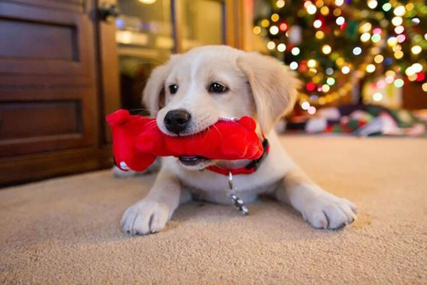 https://figopetinsurance.com/blog/dos-and-donts-gifting-pets-holidays