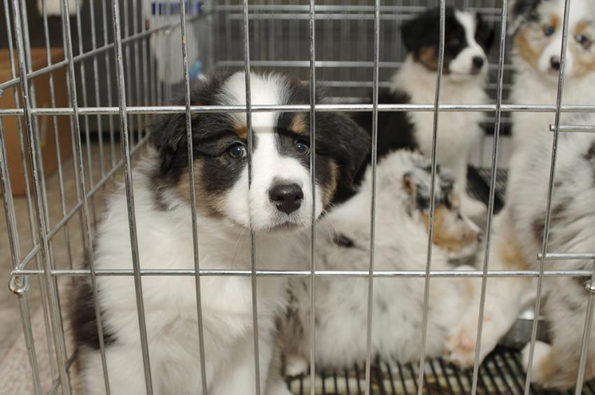 Crate of puppies in a pet shop