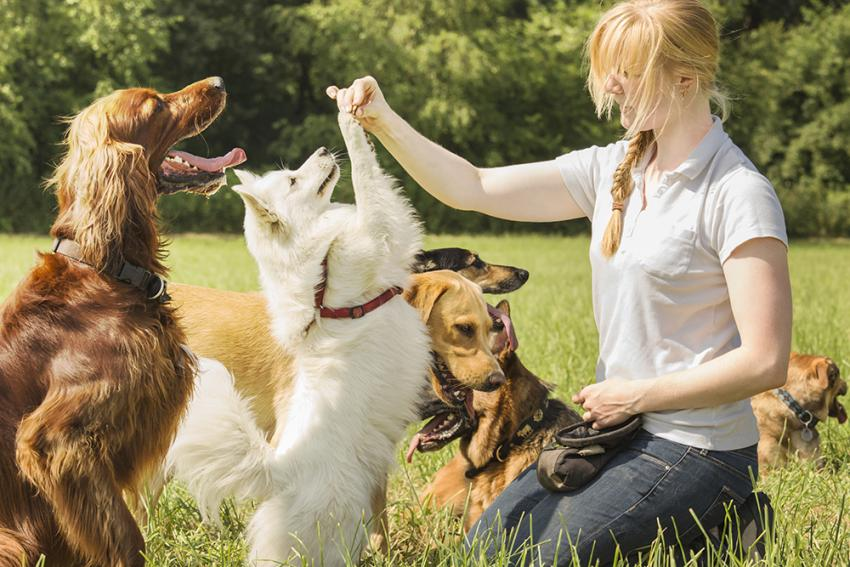 Dog trainer working with multiple dogs