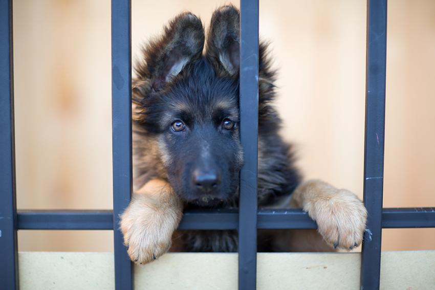 German Shepard puppy in pound waiting to be rescued