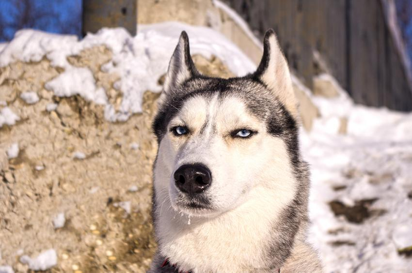 Husky making a comical scowling face