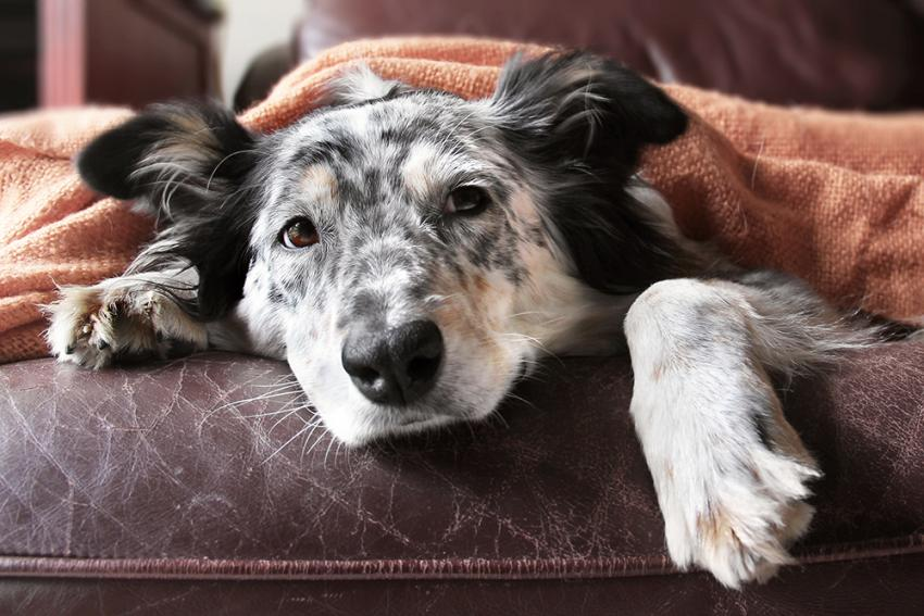 Old Australian Shepherd under a blanket