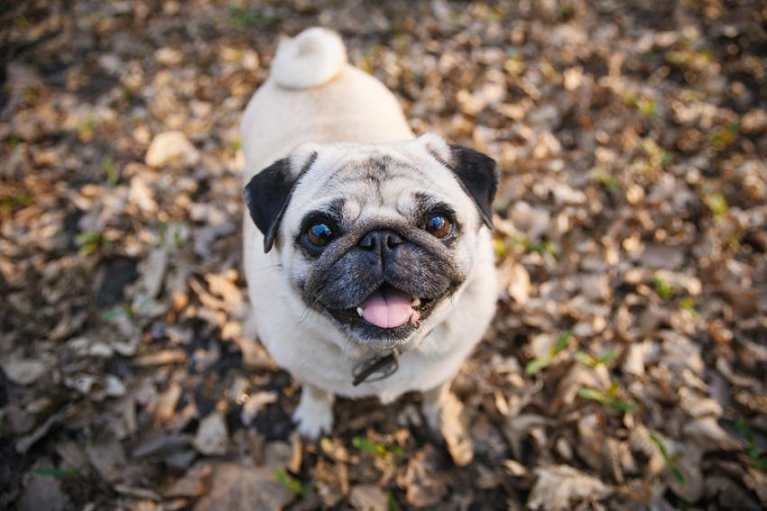A Pug in a pile of leaves