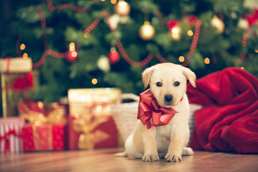 Pet given as gift for the holiday sitting under the tree