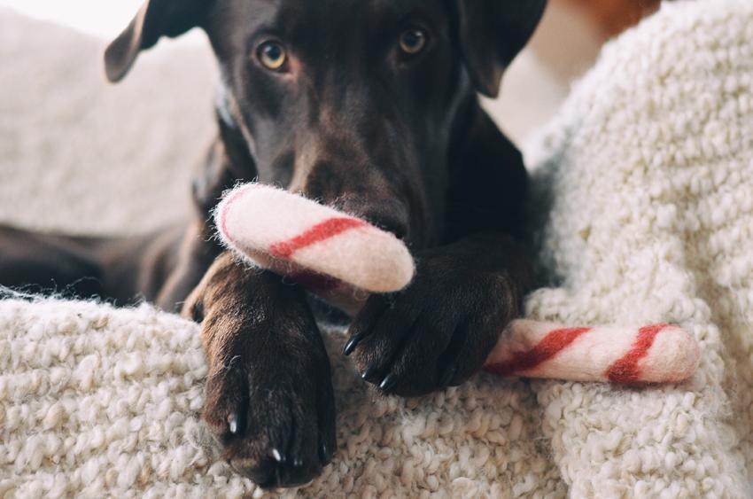 Puppy with holiday pet toy candycane