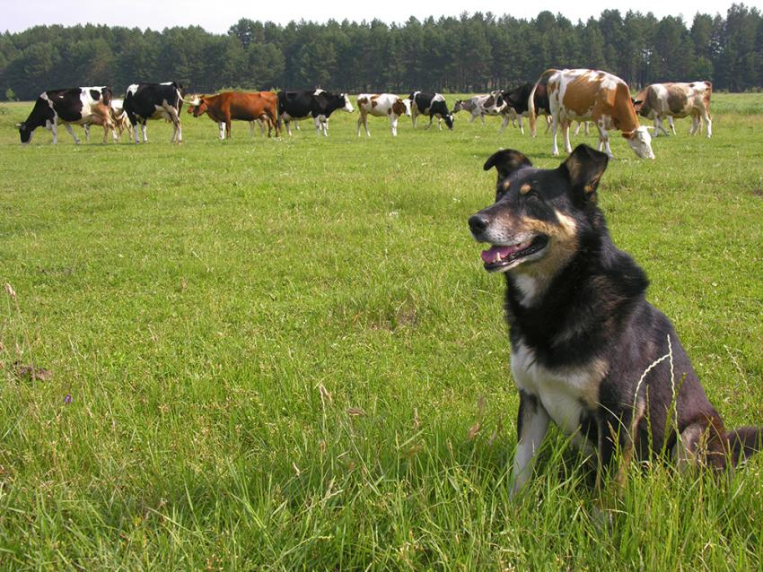 Cattle dog herding cattle