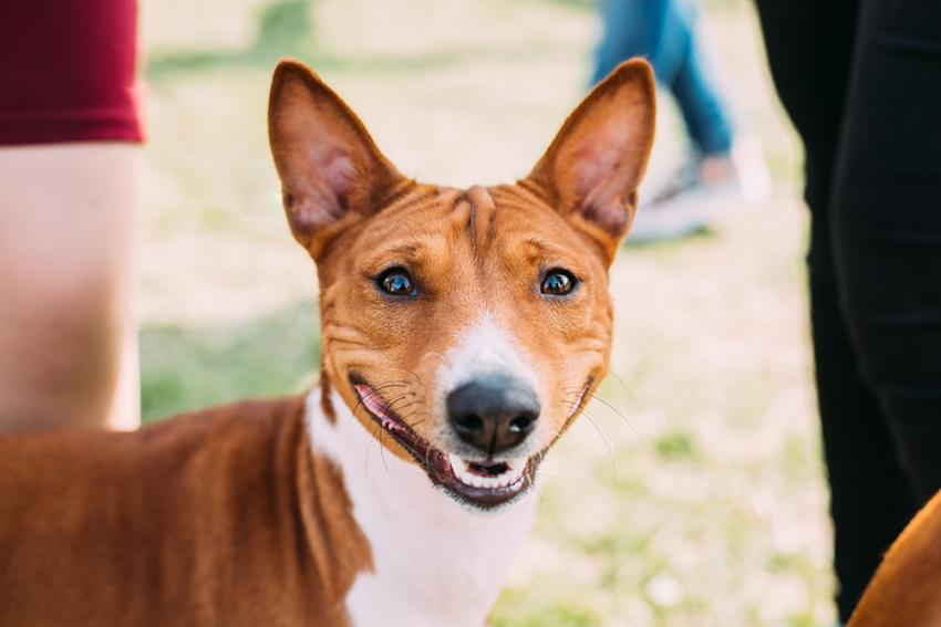 Dog Breeds Getting To Know The Basenji
