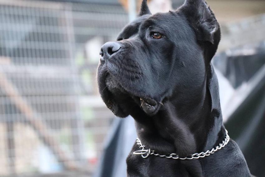 Getting to know the Cane Corso