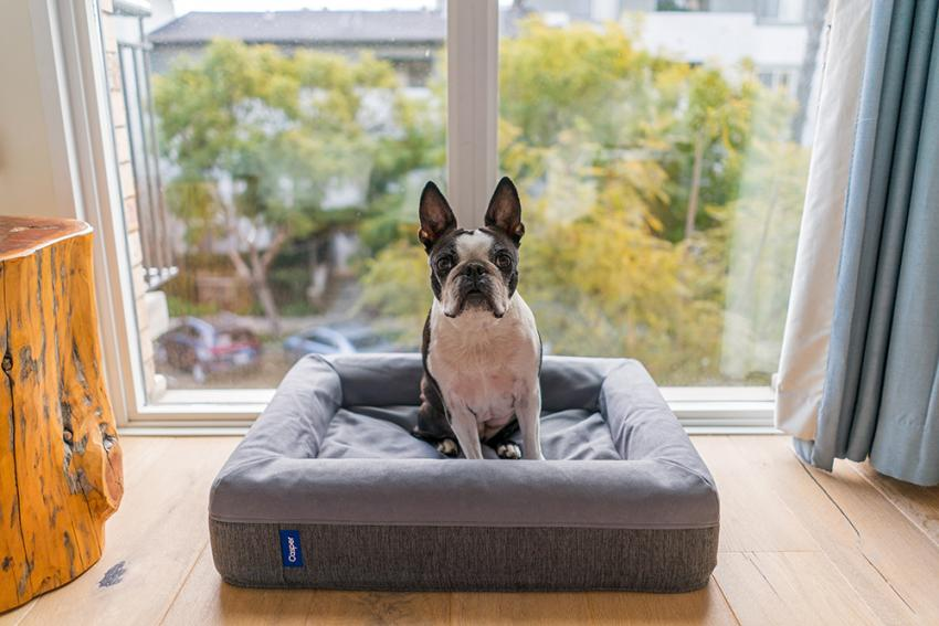 boston terrier kitty down in doggy bed