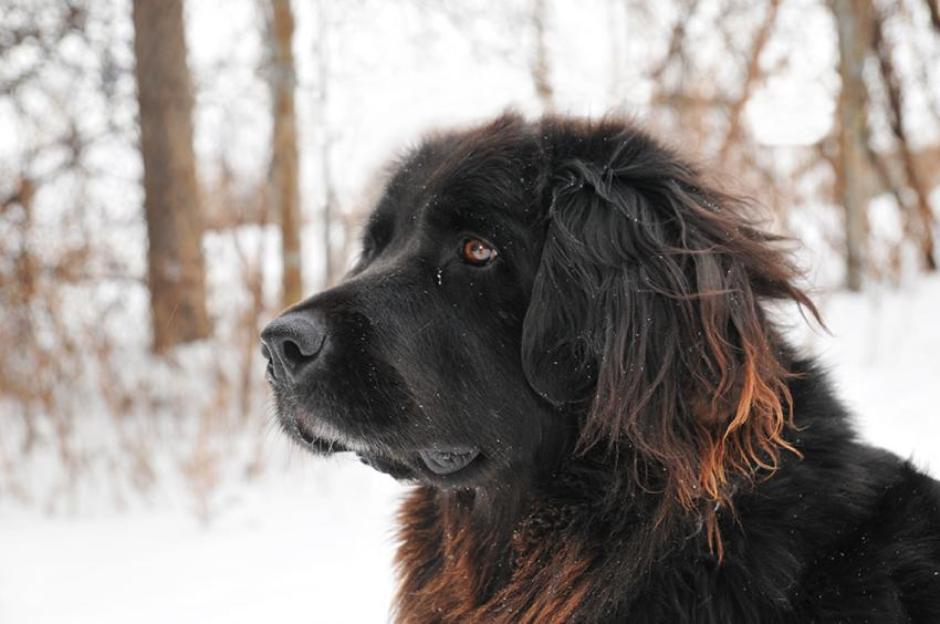 Brown Newfoundland dog in the snow