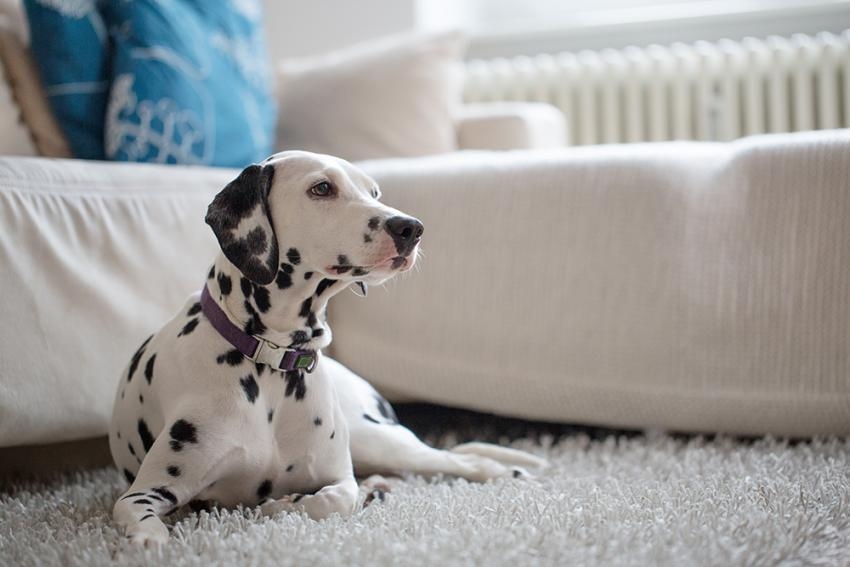Dalmatian sitting on white carpet in clean house