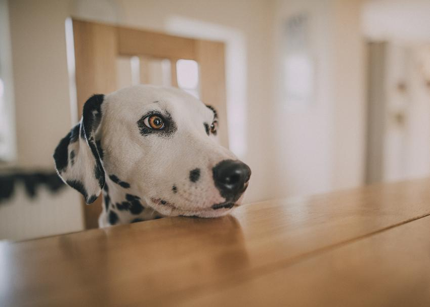 Dalmatian sitting on chair eyeing something on dining room table