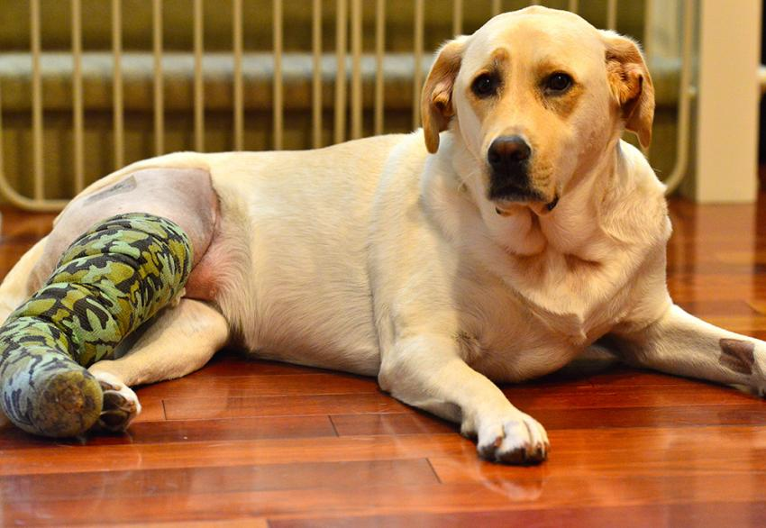 Dog laying son side with an injury