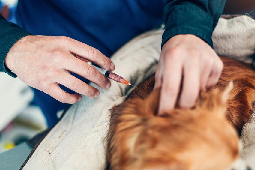 Dog receiving an injection