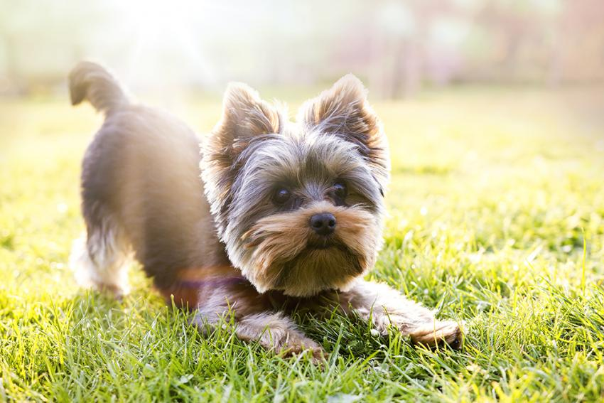 Training Your Yorkie Figo Pet Insurance