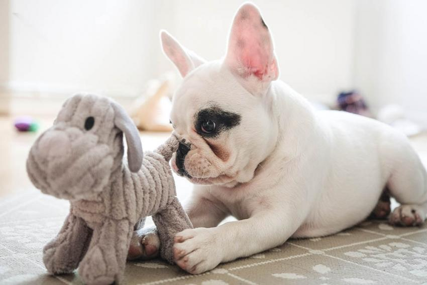 French Bulldog playing with plush toy