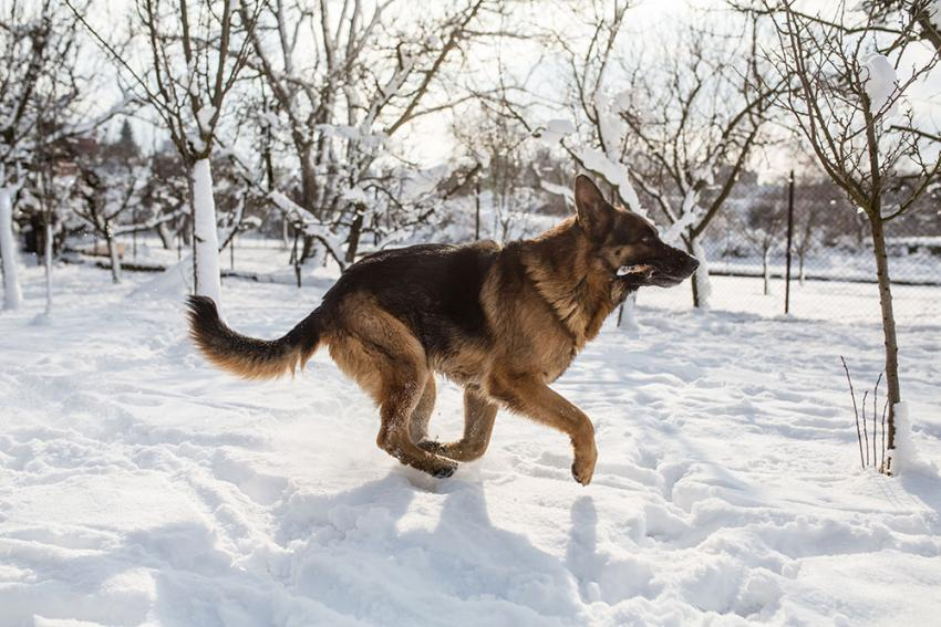 German Shephard playing in the snow