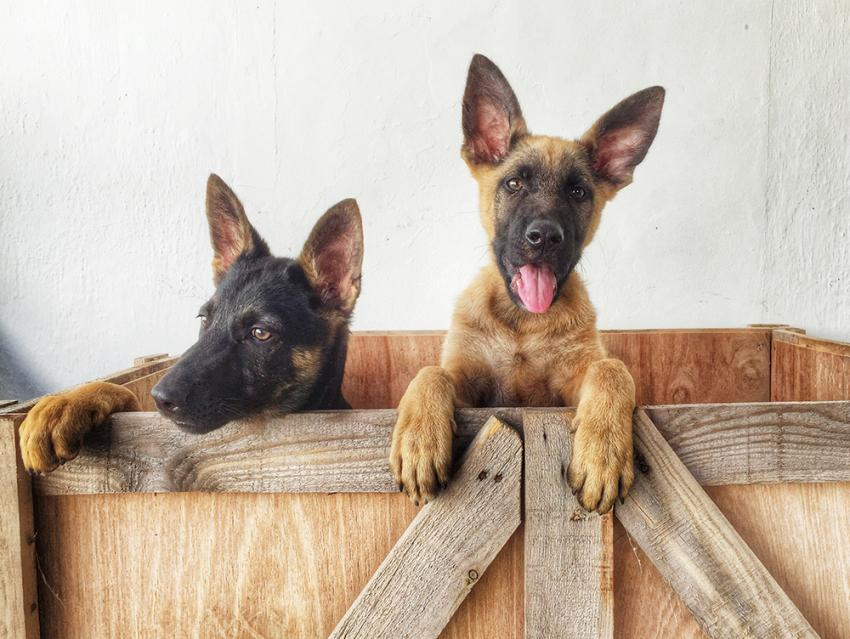 Image of: Training Getting To Know The German Shepherd Dog Breed Profiles Getting To Know The German Shepherd Figo Pet