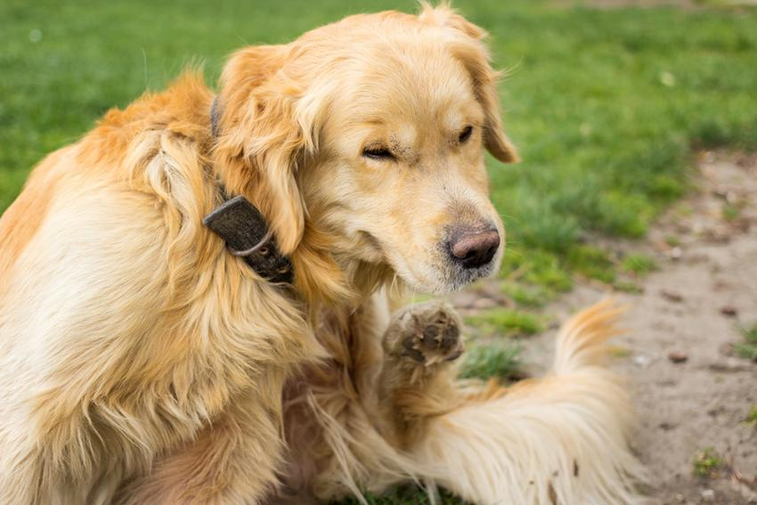 Fleas Present Another Problem: Tapeworms in Dogs | Figo Pet Insurance